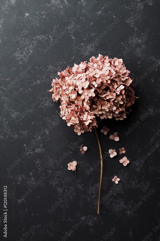 Fototapeta Dried flowers hydrangea on