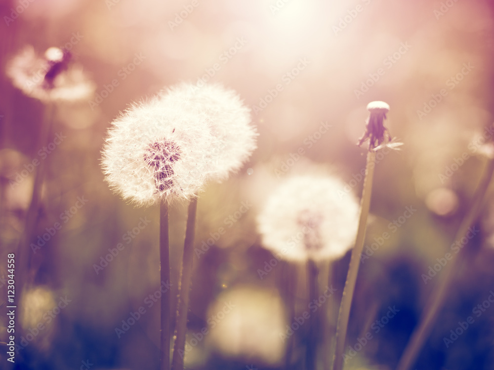 Fototapeta Vintage dandelions on meadow