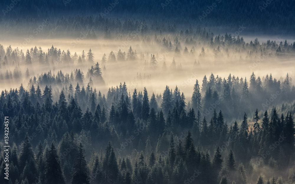 Fototapeta coniferous forest in foggy