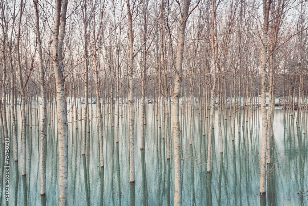 Fototapeta Birches in flooded