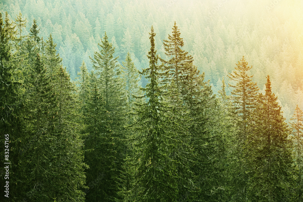 Fototapeta Green coniferous forest lit by