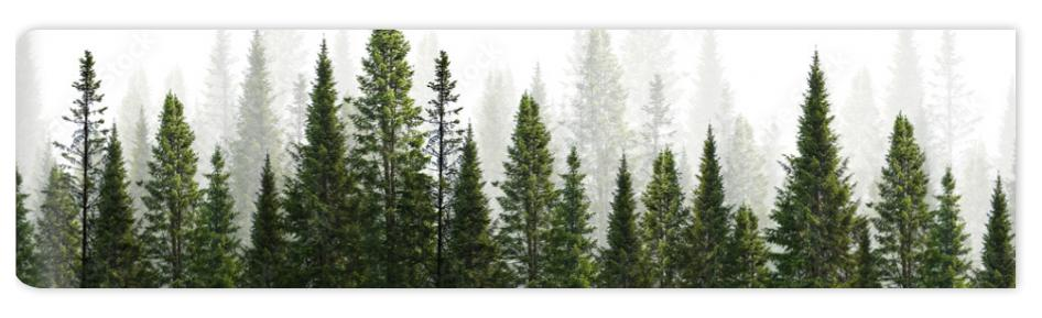 Fototapeta dark green straight trees