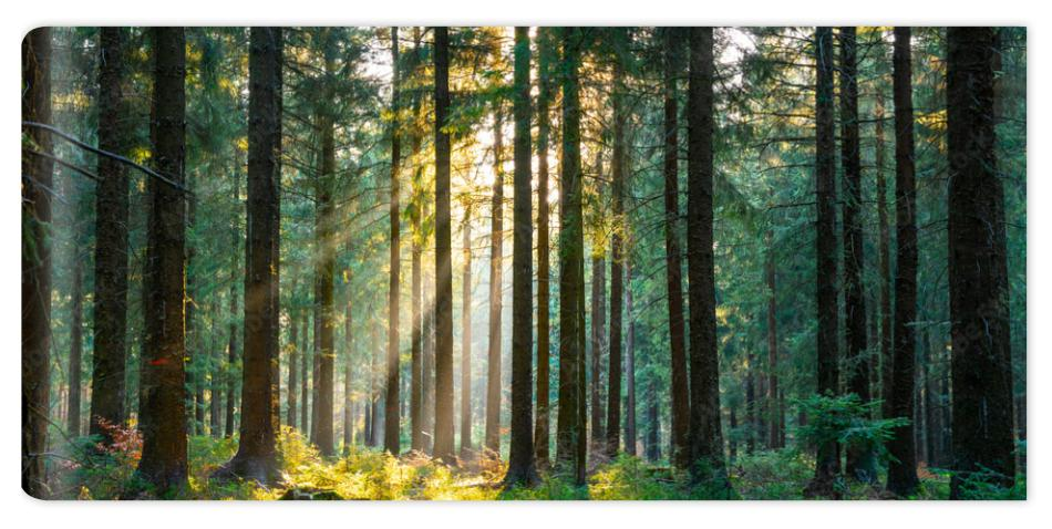 Fototapeta Silent Forest in spring with